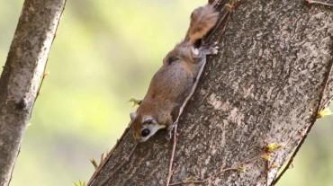 Flying Squirrel S. Korea's Favorite Wild Animal