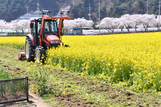 The city deployed four tractors to plow up the canola flowers on Friday. (image: Samcheok City Office)