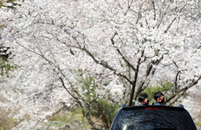 Two boys wearing masks enjoy cherry blossoms from the open sunroof of a car in the county of Boseong, South Jeolla Province, on March 31, 2020. (Yonhap)