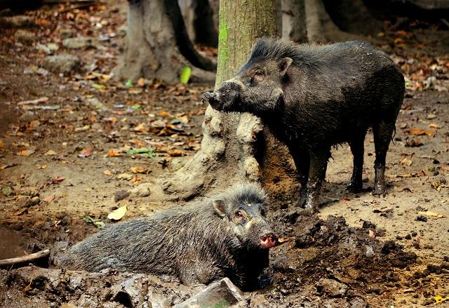 S. Korea Develops Technology to Catch Wild Boars