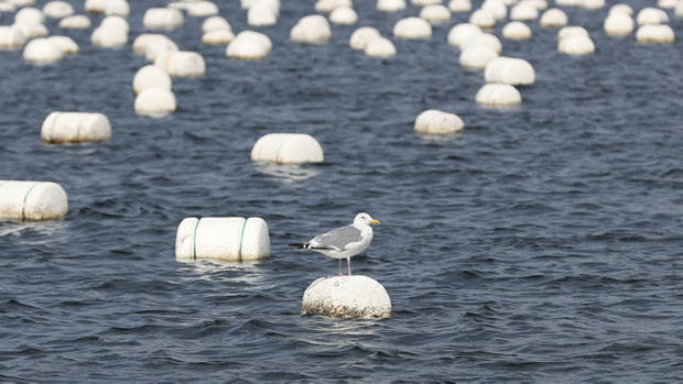 Styrofoam buoys currently being used at seaweed and oyster farms can easily break into small particles as they are hit by sea waves. (image: Yonhap)
