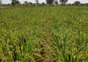 Researchers Succeed in Growing Rice in the Desert
