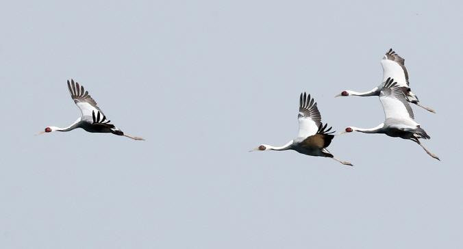 White-naped cranes (Yonhap)