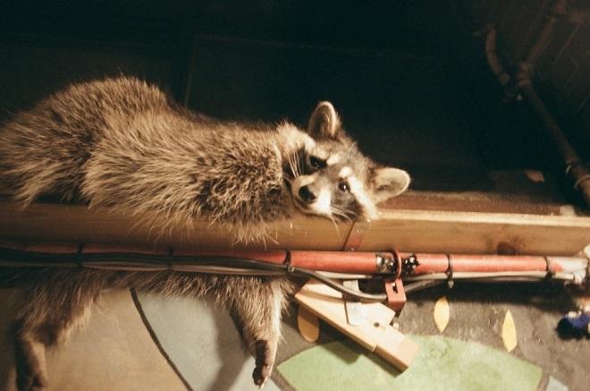 Environment Ministry Designates Raccoons as 'Hazardous Animals'