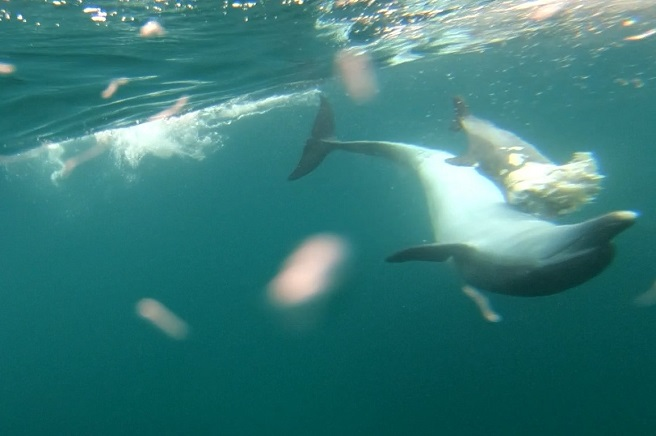 Female Dolphin Found Carrying Deceased Calf