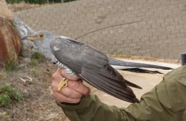 New Data Shows S. Korean Cuckoos Fly 20,000 Kilometers to Spend Winter in Africa