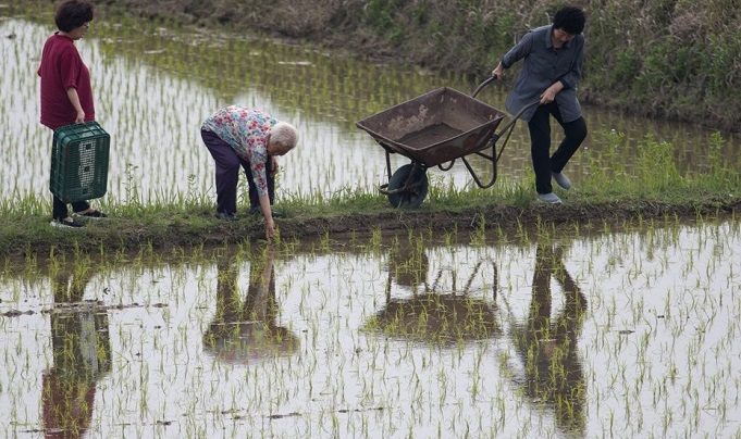 Farmers release freshwater snails into a rice paddy near the Stork Park in Yesan, a town in South Korea's central province of South Chungcheong, on June 5, 2020, as they use them as a natural pesticide for rice farming. (Yonhap)