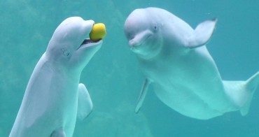 Animal Rights Activists Call for Action After Series of Beluga Deaths