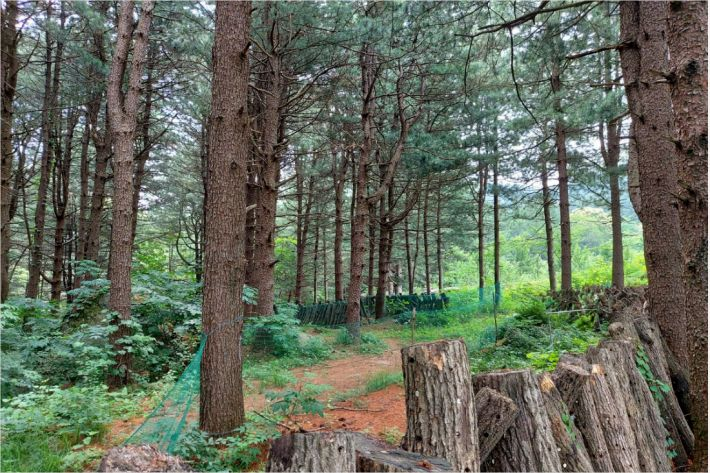 Cypress forest at Chorongyi Doongji village, Gapyeong-gun, Gyeonggi-do (Image courtesy of the Ministry of Agriculture, Food and Rural Affairs)