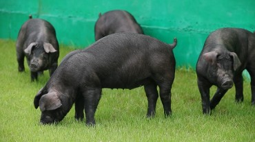 S. Korea to Promote 'Heukdon' Pigs amid Rising Demand for Premium Pork