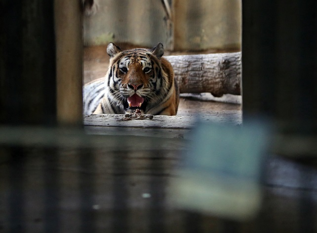 Siberian tigers, known to live in cold regions, escape the heat by staying indoors. (Yonhap)
