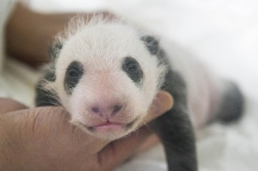Everland's Baby Panda Grows 5 Times Larger in 30 Days