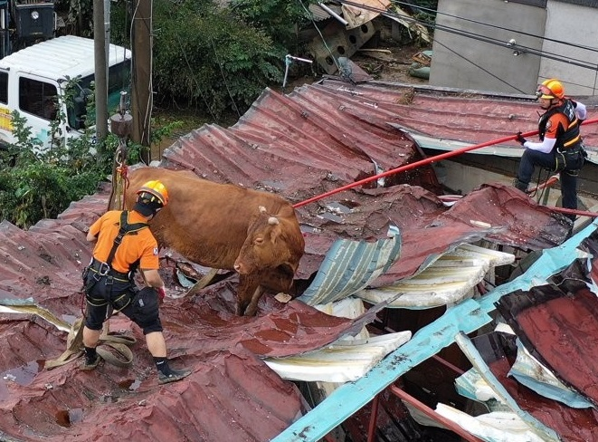 Work to rescue a cow from the roof of an inundated house is under way in Gurye, South Jeolla Province, on Aug. 10, 2020.