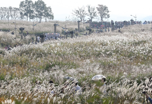 This photo, from Oct. 20, 2019, shows visitors walking through silver grass fields at Haneul Park in western Seoul. (Yonhap)
