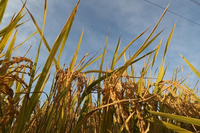 This photo, taken on Oct. 6, 2020, shows rice paddies in Iksan, 180 kilometers southwest of Seoul. (Yonhap)