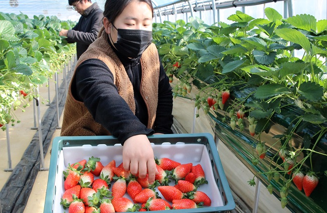 S. Korea to Send Chartered Flights to Singapore with Strawberry Shipments