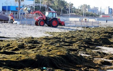 Jeju Island Inundated with Invasive Algae