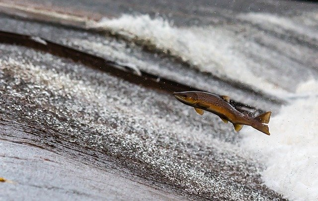 Atlantic Salmon Designated as Risk to Ecosystem