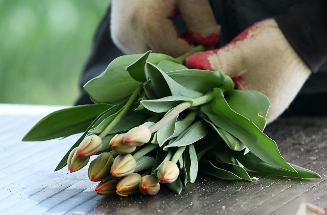 This Feb. 18, 2021 photo shows cut tulips at a flower farm in Chuncheon, 85 kilometers east of Seoul. (Yonhap)