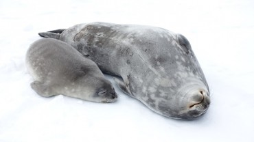 Korea Polar Research Institute Publishes 4-year Study on Weddell Seals at Antarctica