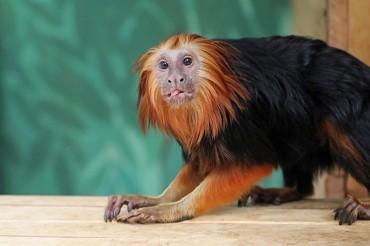Endangered Monkeys Move to Seoul Grand Park Zoo