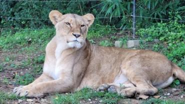 Korean, Japanese Zoos Exchange Lions and Cheetahs