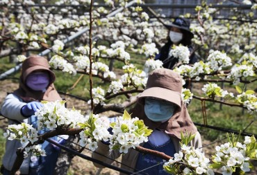 Ulju County Holds Artificial Pollination Demonstration Using Drones