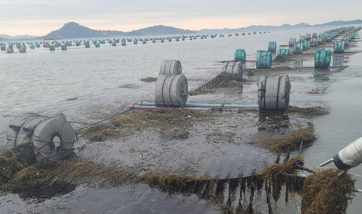 "Invasive algae called Sargassum horneri covers a ""gim,"" or seaweed laver, farm in waters off the town of Sinan, South Jeolla Province, southwestern South Korea, on Jan. 21, 2021, ahead of the seaweed harvest.  (Yonhap)"