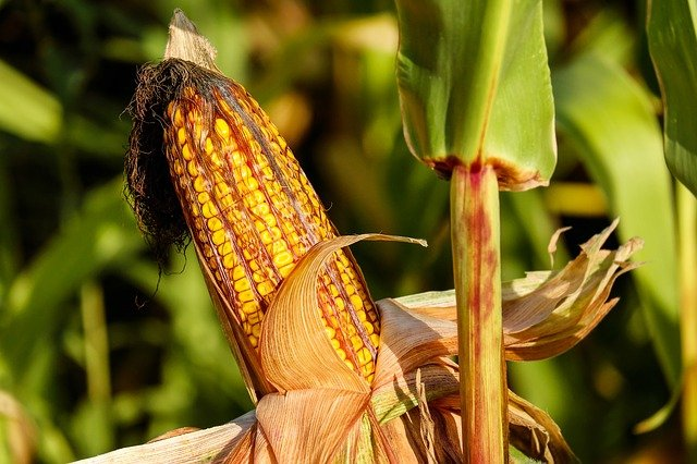 Climate Change Could Cut Corn Belt Crop Yields by Up to 40 Percent by Increasing Unfavorable and Extreme Weather by Mid-Century, According to a New Report
