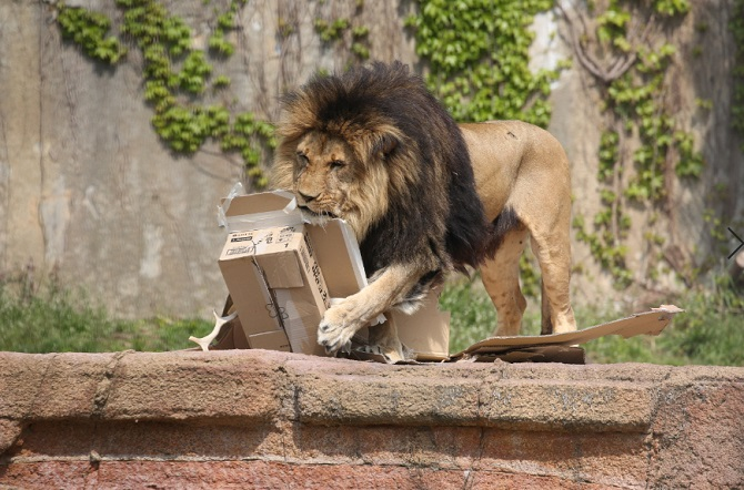 Seoul Grand Park Videos Show Lions in Love with Cardboard Boxes