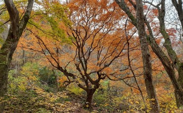 Mount Naejang's Oldest Maple Tree Designated as Natural Monument