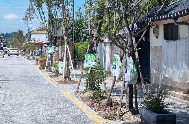 Jeonju Installs Water Bags to Save Street Trees from Scorching Summer Heat
