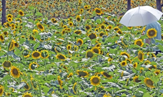 Korean Scientists Develop 3D Printing Ink Material Using Sunflower Pollen